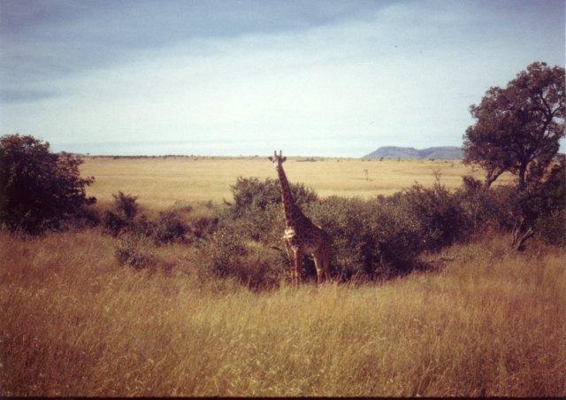 A lone, majestic giraffe