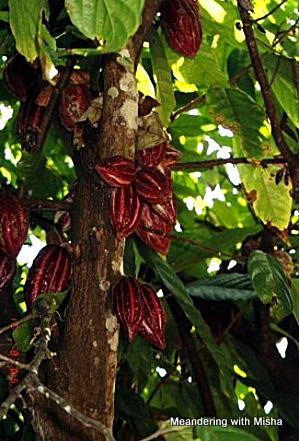 Zanzibar is where chocolate grows on trees. This is what it looks like before Godiva does their magic.