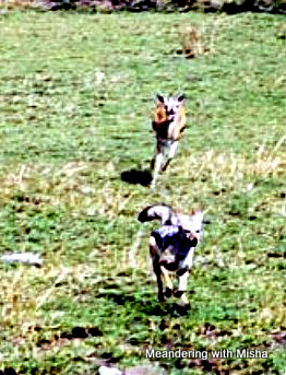Sometimes the predator and sometimes the prey...gazelle chasing jackal