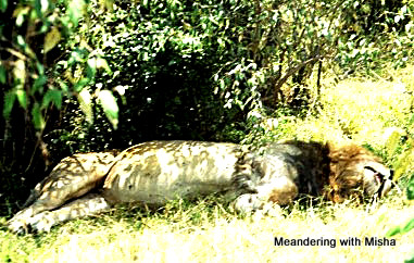 A very full lion...they were eating well