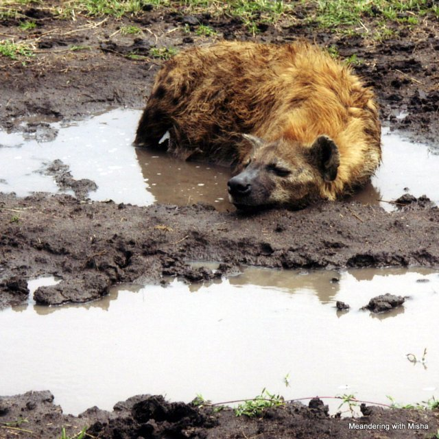 Nothing like a good wallow to chase away the fleas.