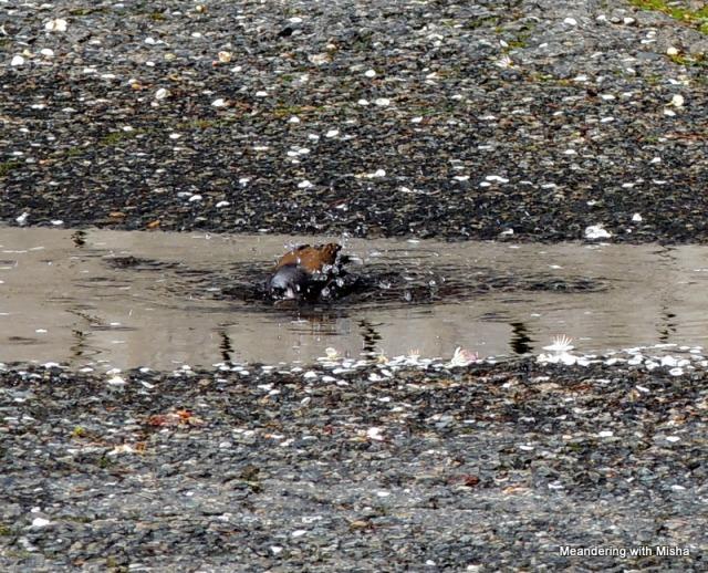 A parkinglot puddle becomes a birdbath